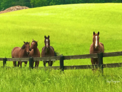 Four Horses Line a Wooden Fence; Photo Courtesy of Lloyd Ferguson
